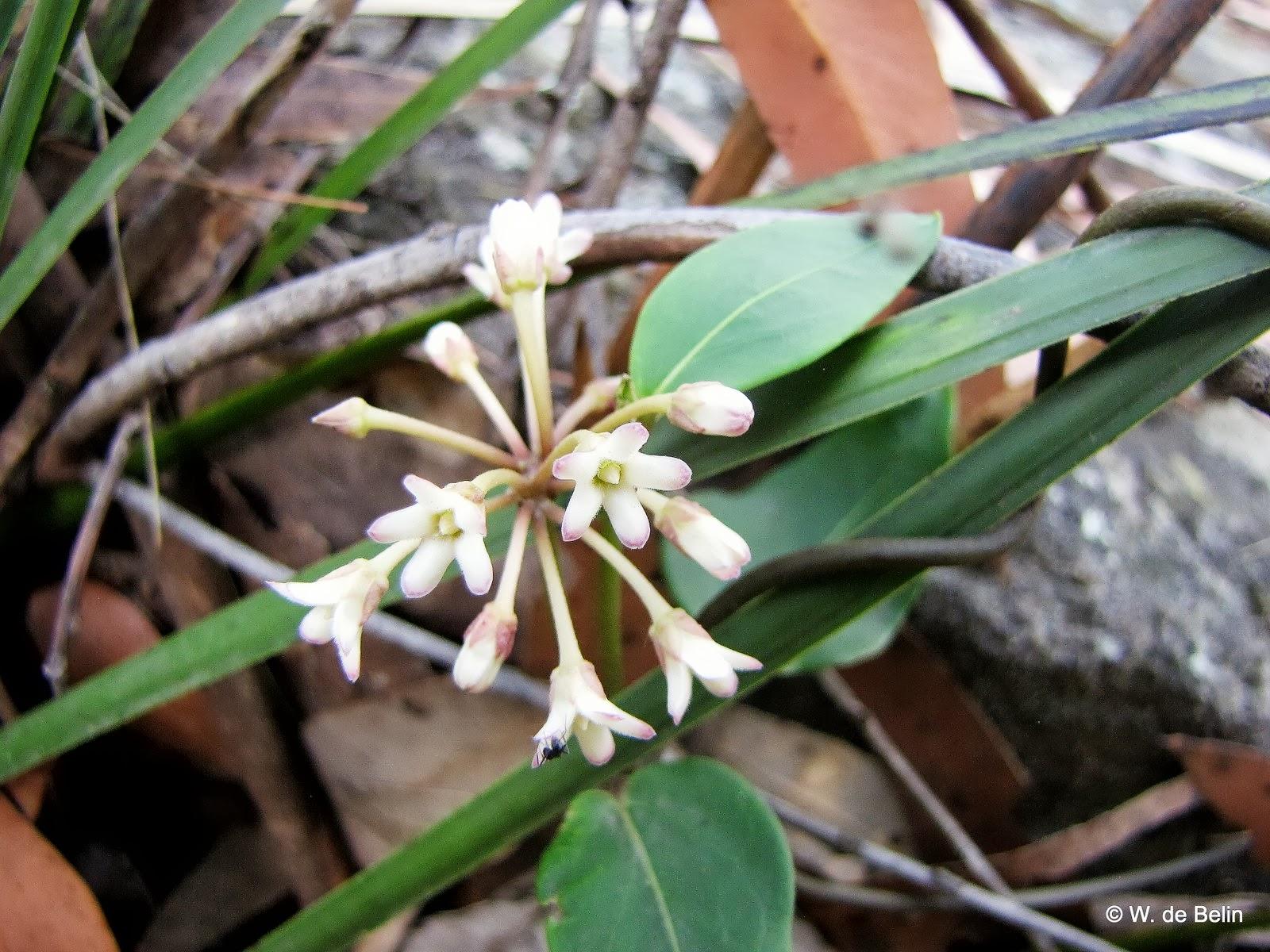 Sydneys Wildflowers And Native Plants Marsdenia Suaveolens