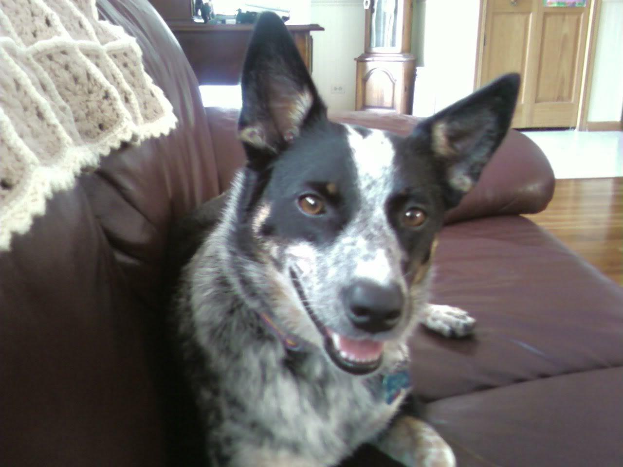 Blue Heeler Eating Other Dog S Food
