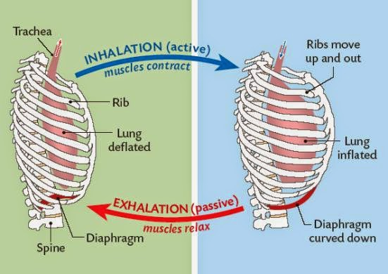 84 ventilation, role of intercostal muscles and diaphragm, Human body