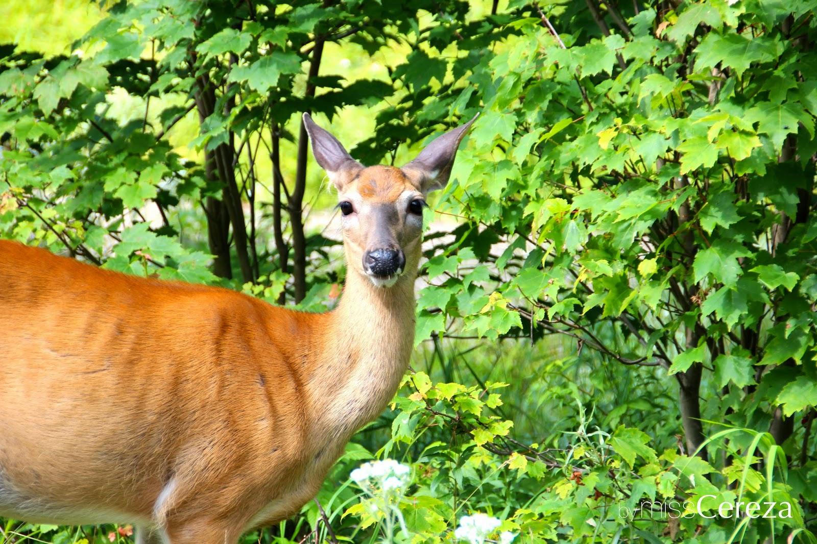 Mont-Tremblant bambi