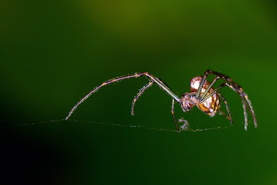 Photograph of a Garden Orb Weaver Spider taken in Sydney, Australia