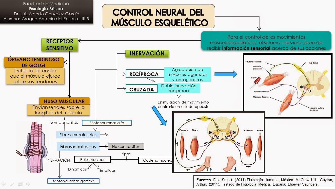 TEMA: Control neural de los músculos esqueléticos CONTROL NEURAL DE ...