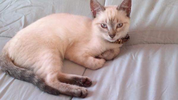 gato,siames,personalidad,cuidados