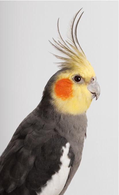Jarra, Biloela, Wild Cockatoos, loro, parrot, Leila Jeffreys, photographs, photos, fotos