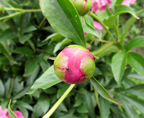бутон пиона, flower