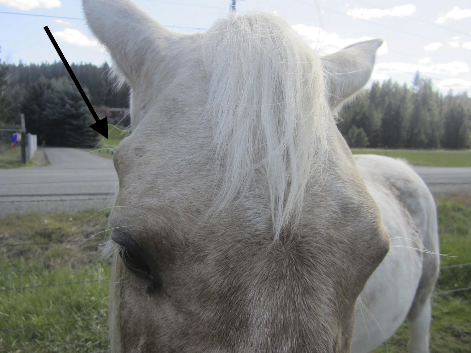 Equine Masterpiece: Anatomy: Horns