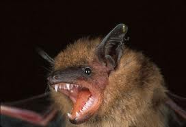 Can Cats Get Rabies From Eating Bats