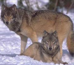 Gray Wolf pictures