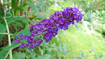 Garten im September - Schmetterlingsstrauch