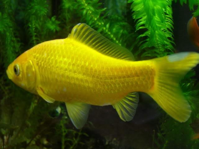 Peces tropicales peces tropicales tambi n los hay de for Peces de agua fria de colores