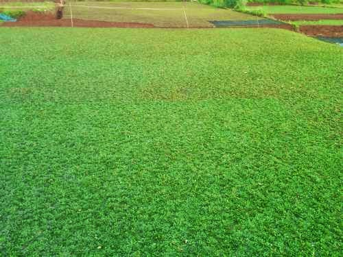 taman rumah rumput gajah mini