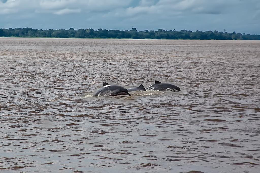 Grupo de delfines rosados nadando en el rio Amazonas