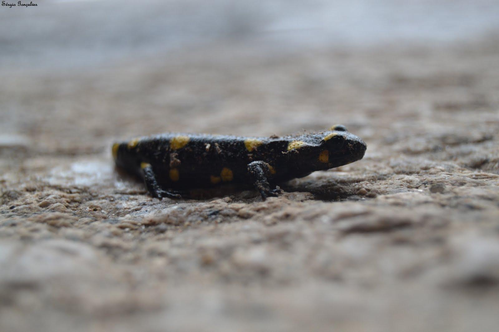A salamandra-de-fogo, salamandra-comum ou salamandra-de-pintas-amarelas  (Salamandra salamandra)
