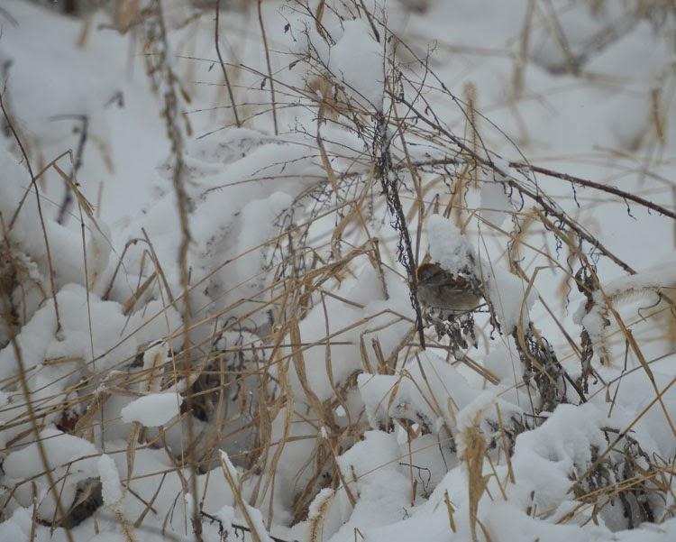 American Tree Sparrow in the weeds.