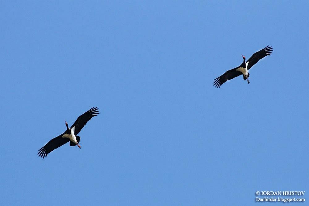 Black Stork © Iordan Hristov