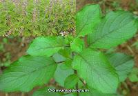 Essay on medicinal plant tulsi leaves