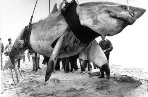 Largest Shark Ever Seen http://wholeworldinformation.blogspot.com/2013/05/biggest-great-white-shark-ever-caught.html