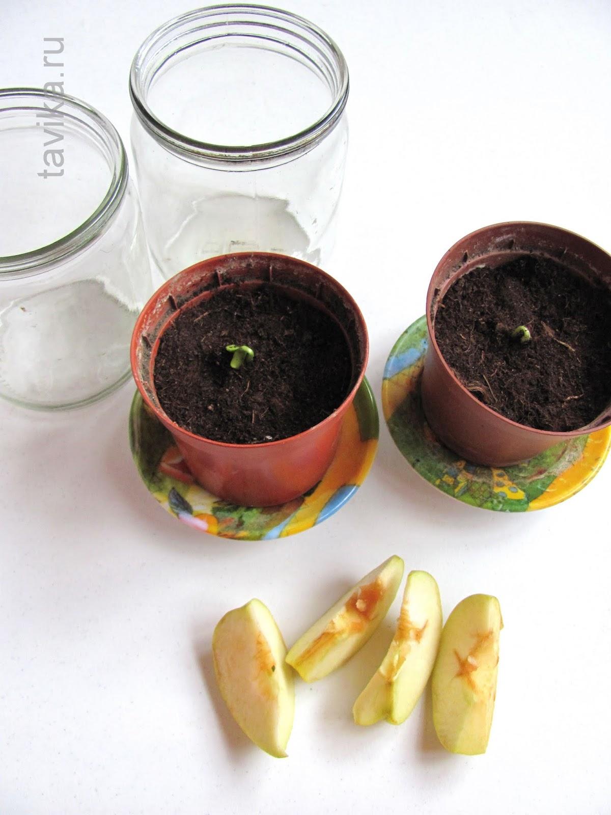 опыты с растениями для детей: влияние этилена