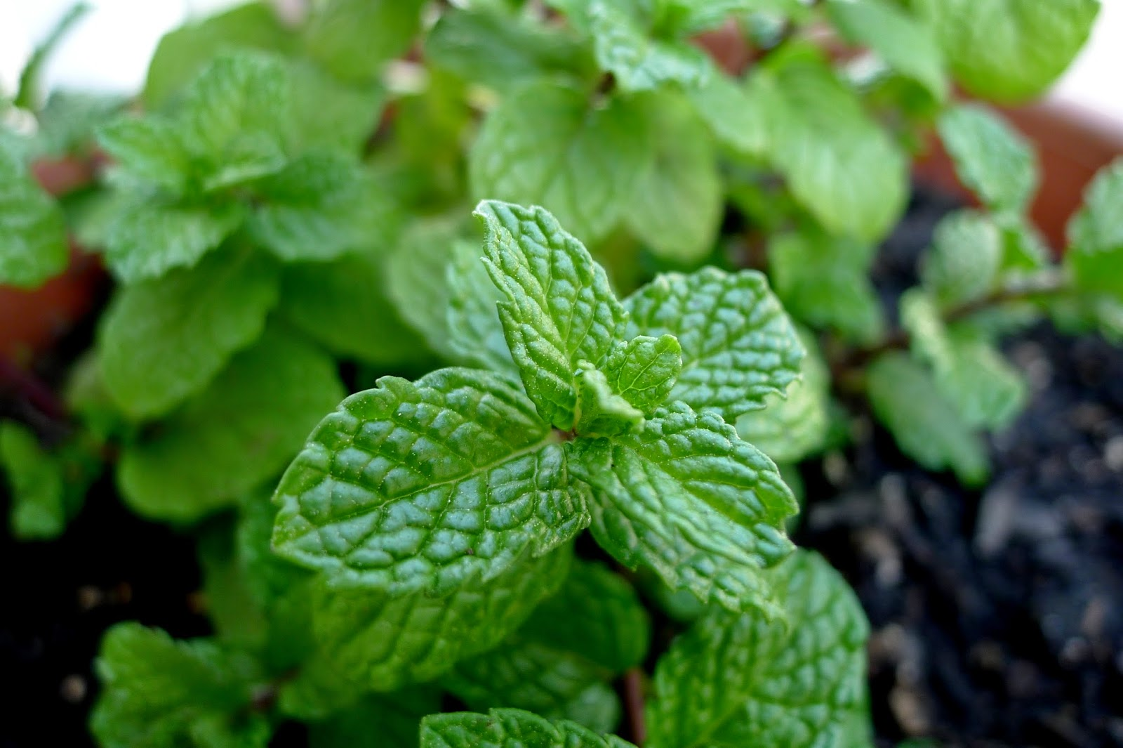 Kentucky Mint, urban farming, herb container gardening