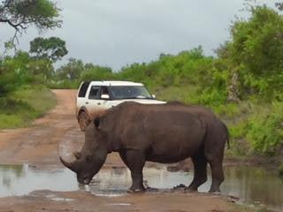Een human-rhino conflict in mini formaat, dat Marjo oploste door even kort doch luidruchtig zijn gaspedaal in te trappen om mr. Rhino duidelijk te maken dat hij in de weg stond.