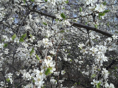 blühende bäume im schlosspark