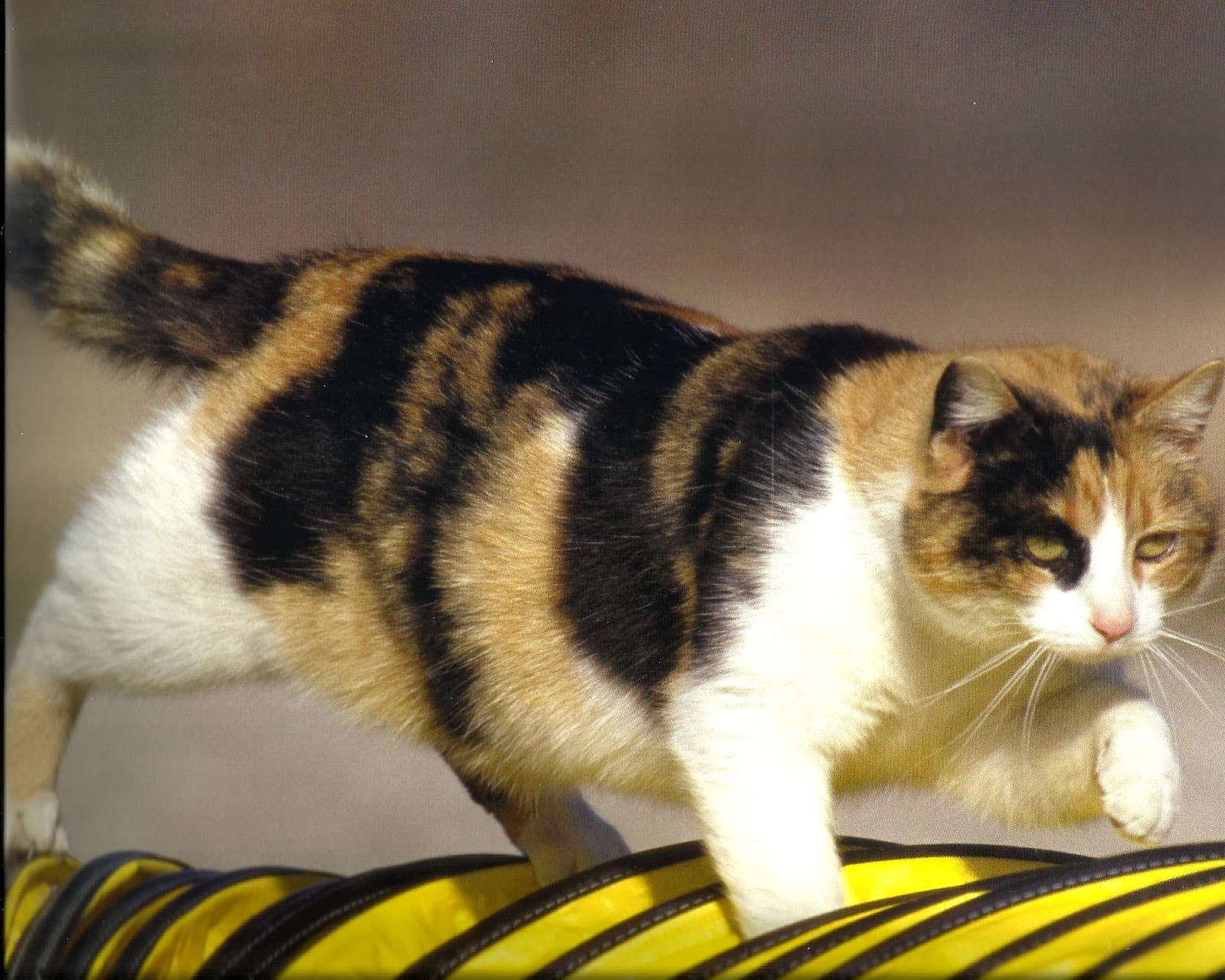 Calico Cat With Interesting Gps >> Desktop Hd Wallpapers Free Downloads Calico Cats Hd Wallpapers