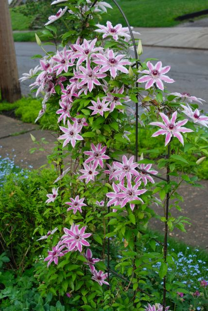 I like to shield the root balls of my Clematis. Clematis 'Nellie Moser' is shaded by Sedum 'Autumn Joy', Geranium macrorrhizum 'Bevan's Variety' and an arbor vitae ball to one side.