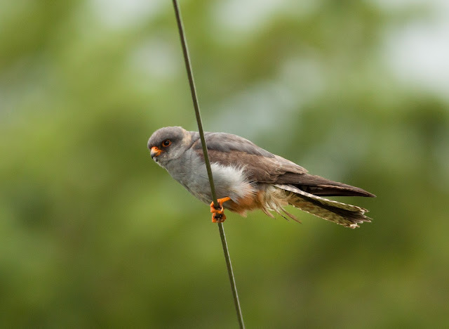 Red-footed Falcon - Chatterley, Staffordshire