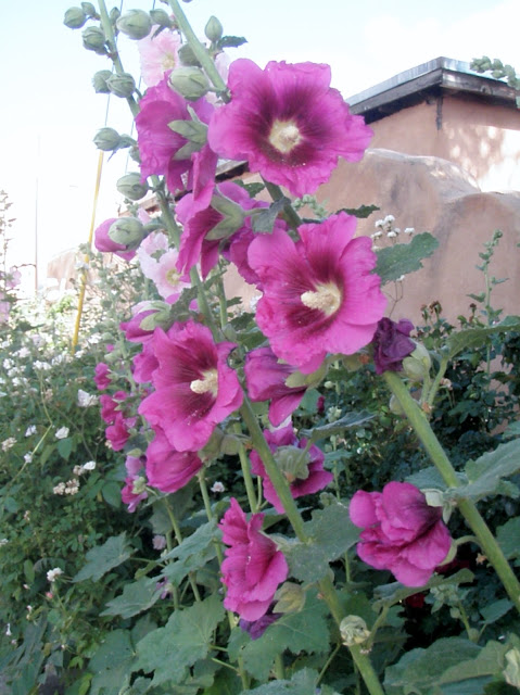 Desert Roses & Hollyhocks