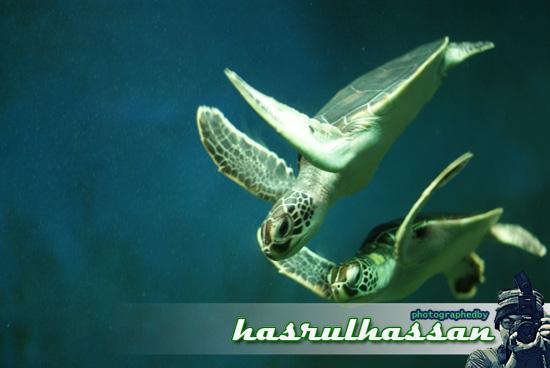 Penyu Agar | Spesies Penyu Terancam di Pulau Pinang