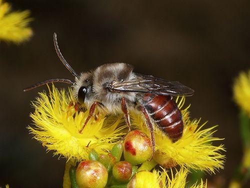 Pertolongan Pertama Ketika Disengat Lebah