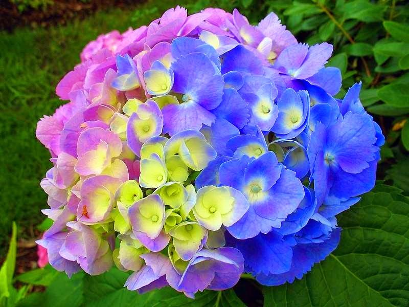 Azulestrellla flores ex ticas de todo el mundo - Cuidados de una hortensia ...