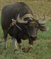 kalabaw pambansang hayop tinuturing na pambansang simbolo ng pilipinas