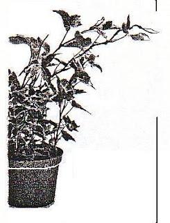 Gambar 4 : Fototropisme positif pada tumbuhan yang diletakkan di jendela