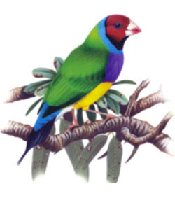 DESCARGA GRATIS PROGRAMA GOULDIAN COLORS