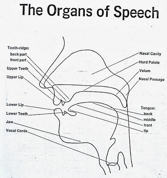 the important role of articulatory phonetics in linguistics Explore the latest articles, projects, and questions and answers in articulatory phonetics, and find articulatory phonetics experts.