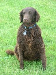 the dog and puppies curly coated retriever