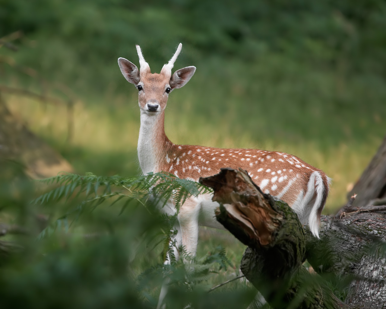 Deer Images High Definition Wallpapers Nature Wallpapers