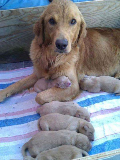 kurzhaar dog with puppies