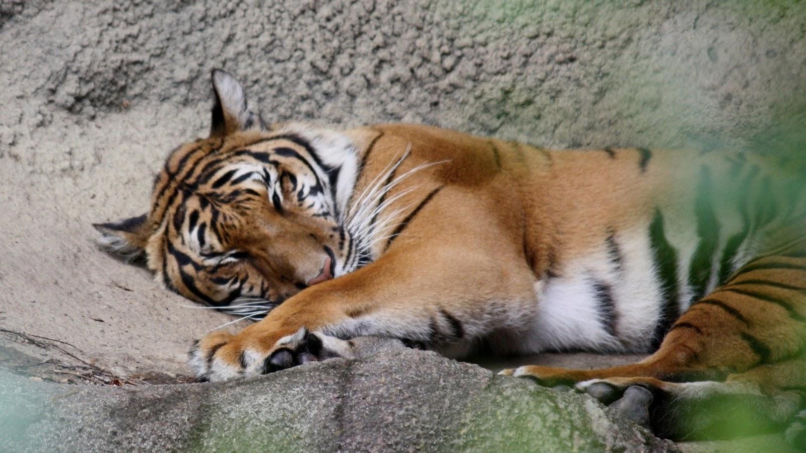 gambar hewan - foto macan tutul