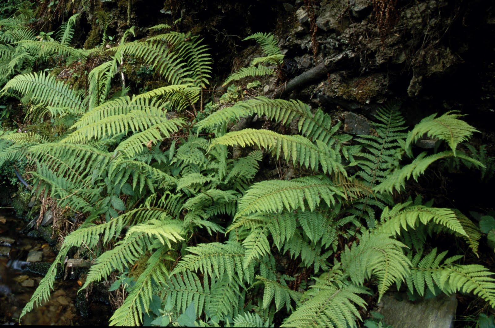 Ccnn 2010 1 eso reino plantas iii los helechos - Cuidados de los helechos ...
