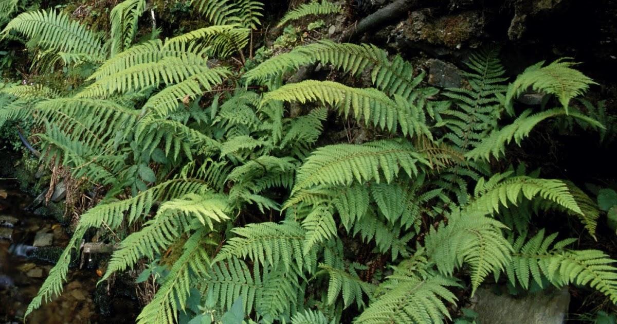 Ccnn 2012 1 eso reino plantas iii los helechos for Plantas ornamentales helechos