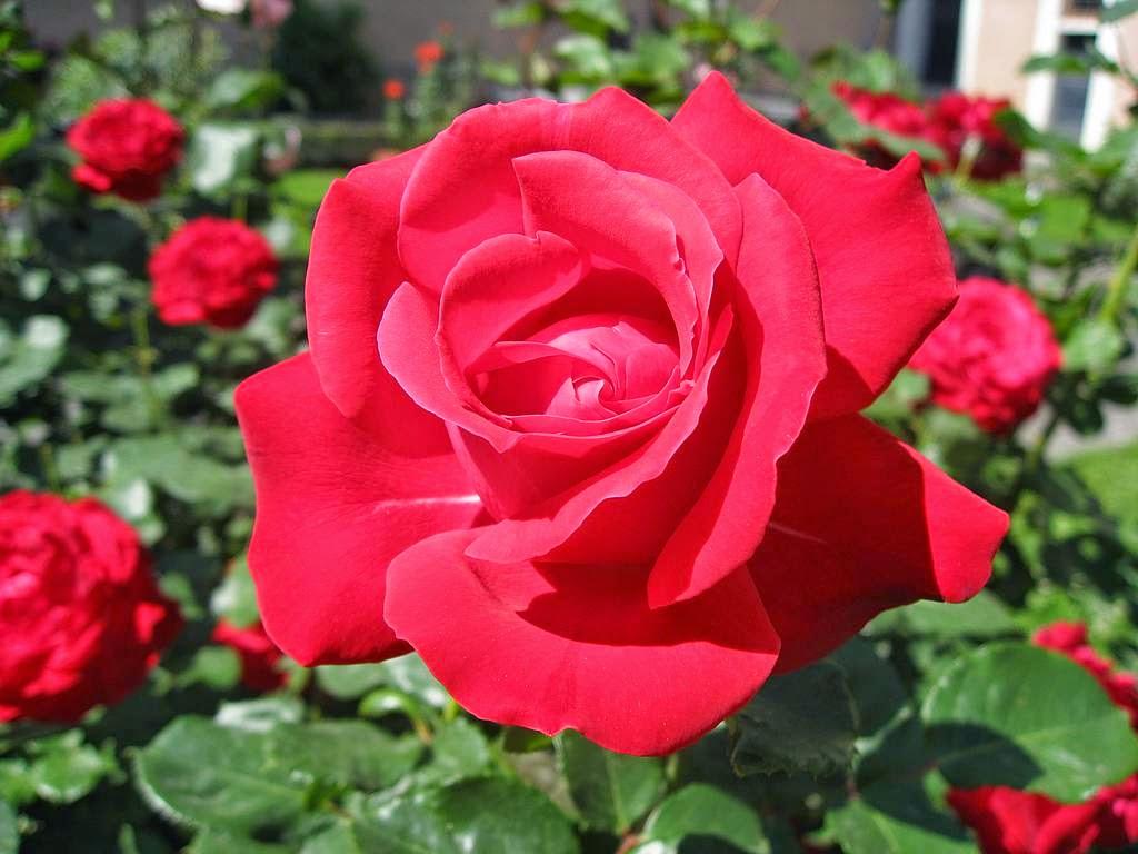 Bunga Mawar Dan Manfaatnya Biology