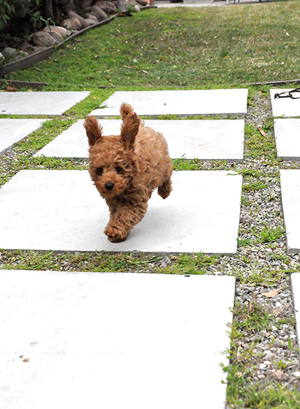 red poodle puppy running, ears flying