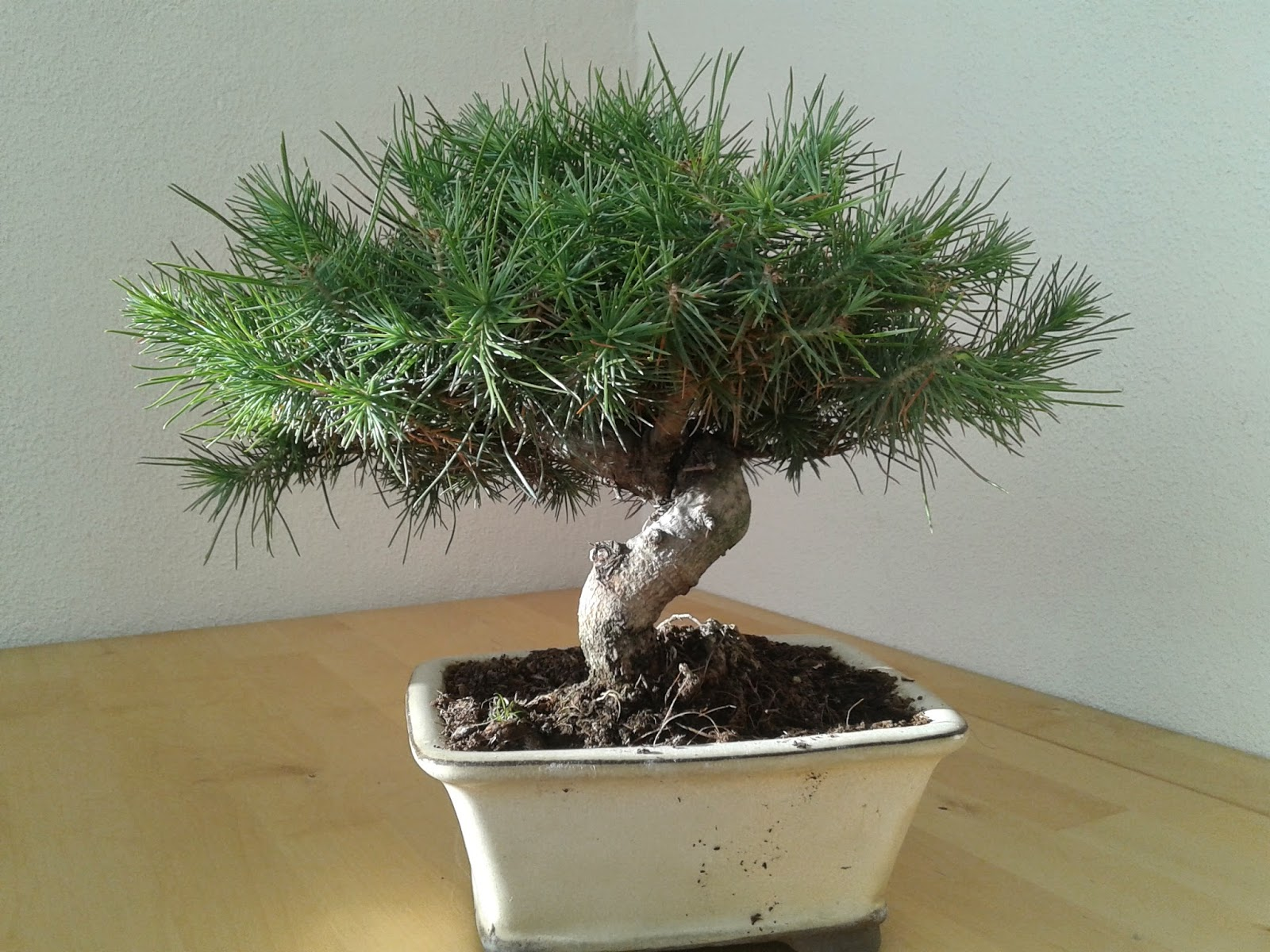 A Minha Viso Do Mundo Bonsai Pinus Halepensis
