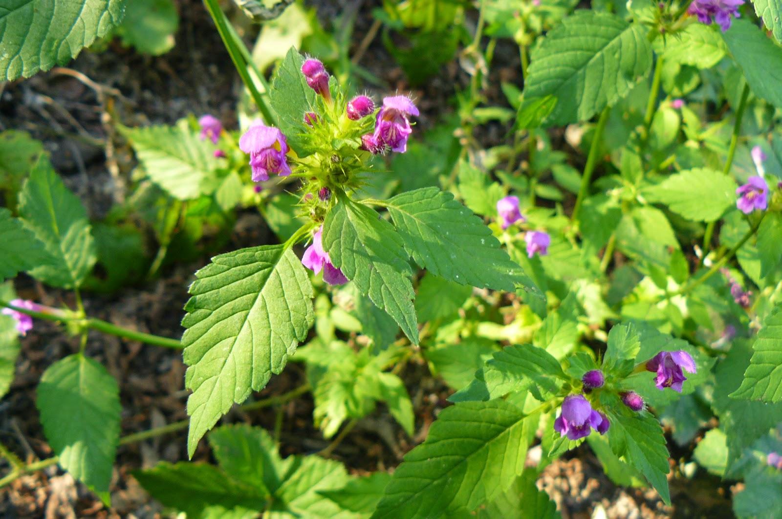 jasnota purpurowa Lamium purpureum L.