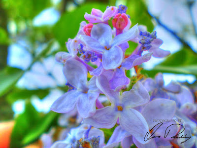 burple blue purple flower flowers flowering