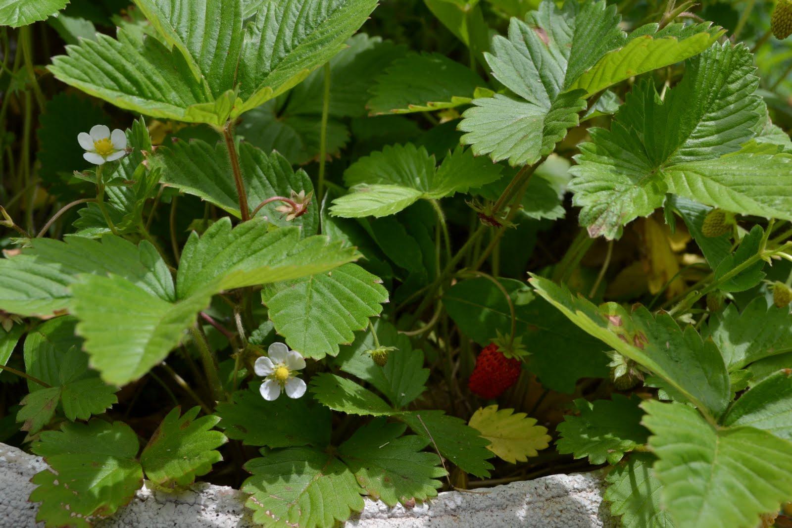 Nice Strawberries Growing Part   1: Nice Strawberries Growing Photo