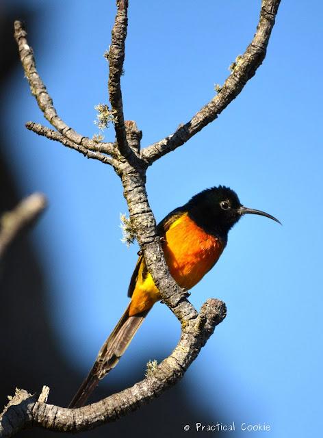 Male orange breasted sunbird on it's perch