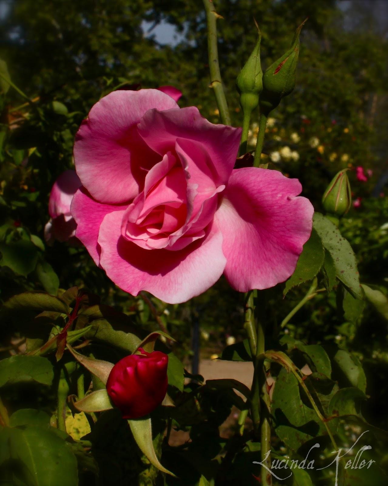 Cobalt Violet Spectacular Spring at Descanso Gardens Part 3 Waltz of the
